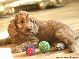 Cavapoo puppies